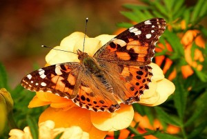 painted-lady-butterfly2